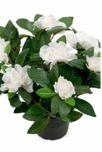 Bilde av Gardenia i potte